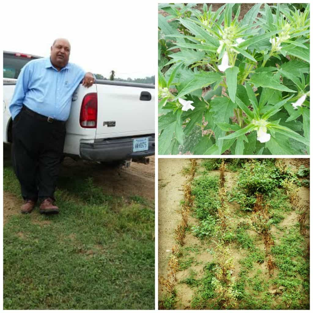 On the farm at UVA checking out the chickpeas and sesame with Dr. B.